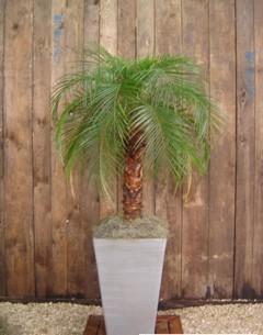 Ideia Decorar Plantas para apartamento palmeira
