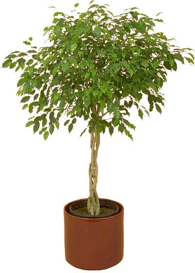 Ideia Decorar Plantas para apartamento vaso planta ficus